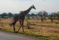 Tanzańskie safari i bajeczne plaże Zanzibaru